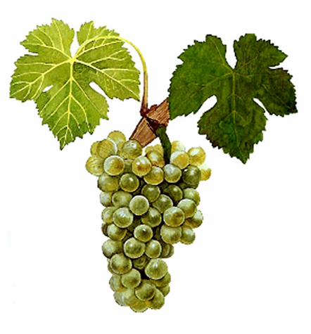 Cépage viognier (Photo by Viala & Vermorel)