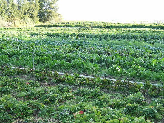 Organic cultivation of mixed vegetables on an organic farm in Capay, California